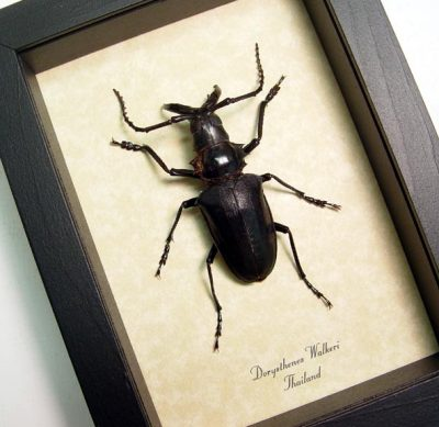 Dorysthenes walkeri Real Framed Walrus Tusk Beetle