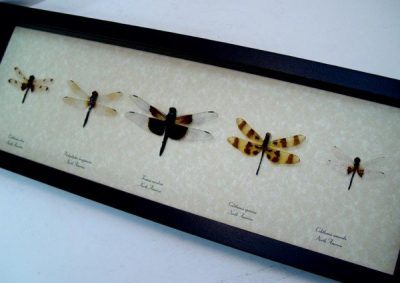Dragonfly Collection Set of 5 North American Dragonflies Real Framed Insects