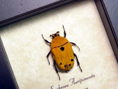 Euchroea auripimenta Real Framed Orange Madagascar Flower Beetle