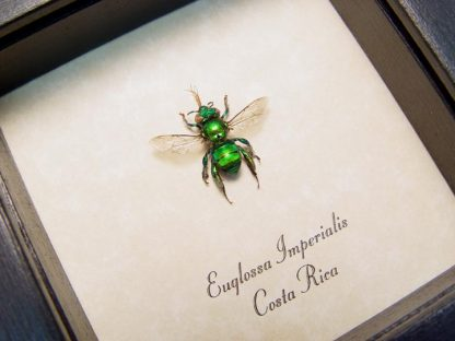 euglossa imperialis green orchid bee