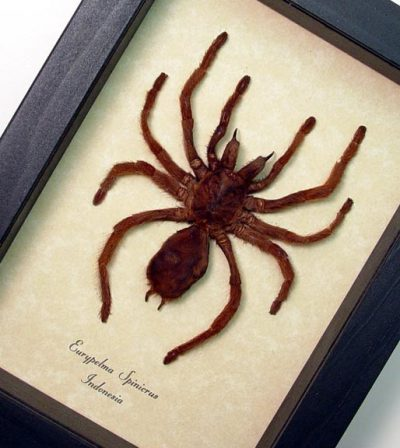 Euryplema spinicrus medium Real Framed Tarantula Spider