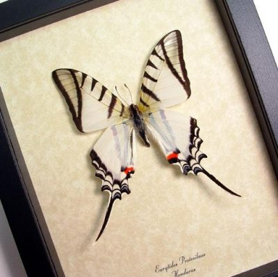 Eurytides Protesilaus Zebra Swallowtail Real Framed Butterfly