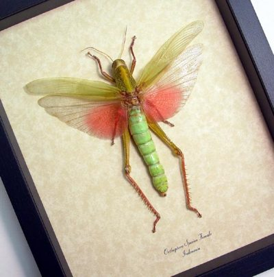 Orthoptera Sp Female Real Framed Giant Pink Green Grasshopper