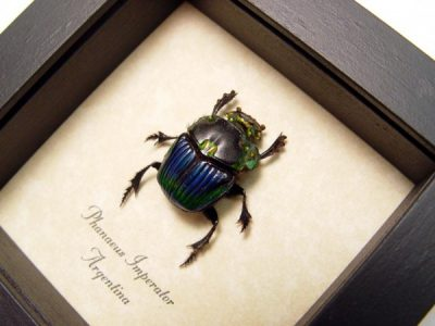 Phanaeus Imperator Female Real Framed Metallic Dung Scarab Beetle
