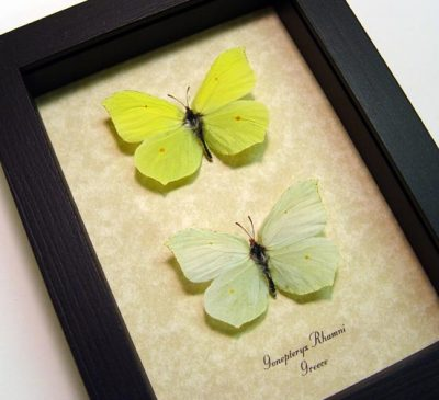 Gonepteryx rhamni Pair Real Framed Brimstone Butterflies Ancient Greece