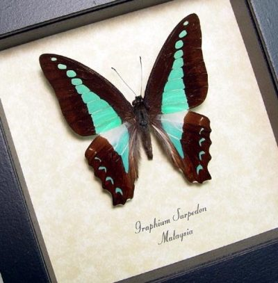 Graphium sarpedon  Common Bluebottle Blue triangle Real Framed Butterfly