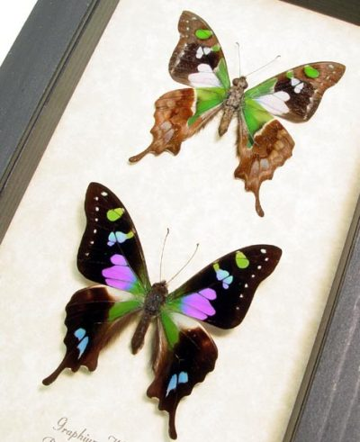 Graphium weiskei Pair Purple Spotted Swallowtail Butterfly
