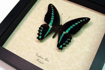 Graphium milon Milons Swallowtail Real Framed Turquoise Butterfly