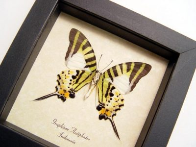 Graphium antiphates Verso Five-bar Swordtail Real Framed Butterfly