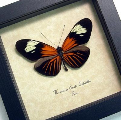 Heliconius erato The Red Postman Passion Flower Real Framed Butterfly