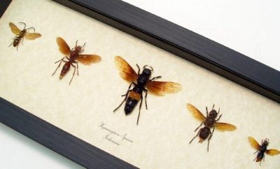Hymenoptera Collection Real Framed Wasp Collection