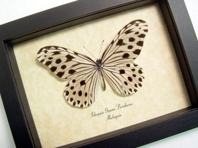 Ideopsis gaura p. Male Wood Nymph Real Framed Butterfly