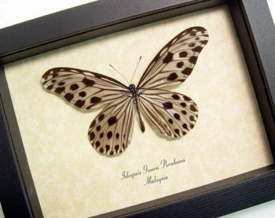 Ideopsis gaura p. Female Wood Nymph Real Framed Butterfly