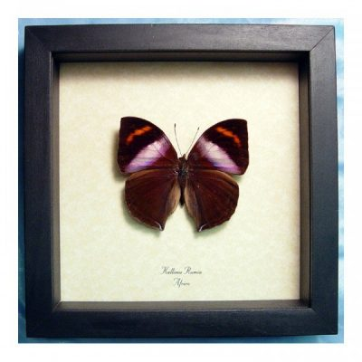 Kallima rumia Male Rare Purple Leaf Mimic Real Framed African Butterfly