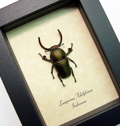 Lamprima adolphinae Bronze Saw Tooth Fighting Beetle Real Framed Insect