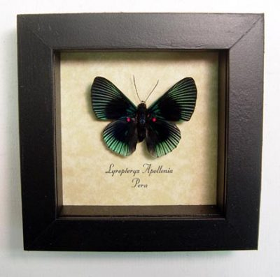 Lyropteryx apollonia Blue Rayed Metalmark or Pink Spotted Metalmark Real Framed Butterfly