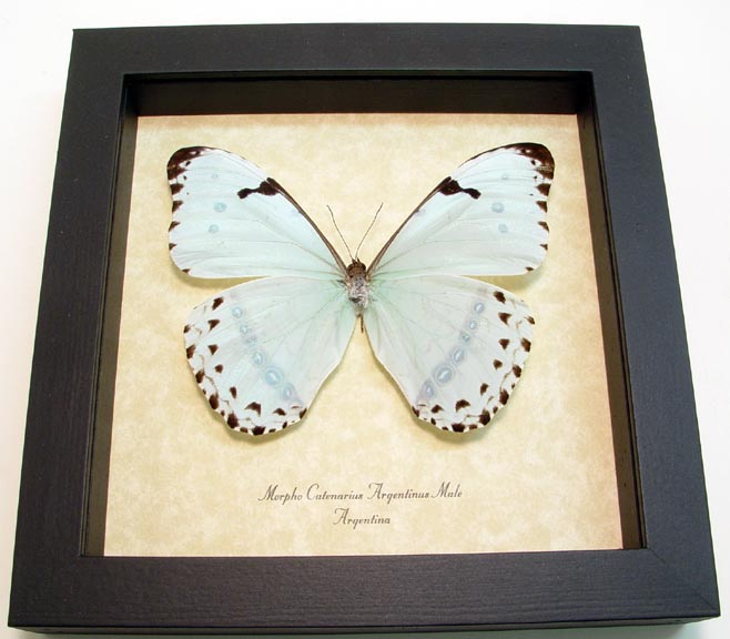 Morpho catenarius Pale Mint Blue Morpho Real Framed Butterfly Sug ...