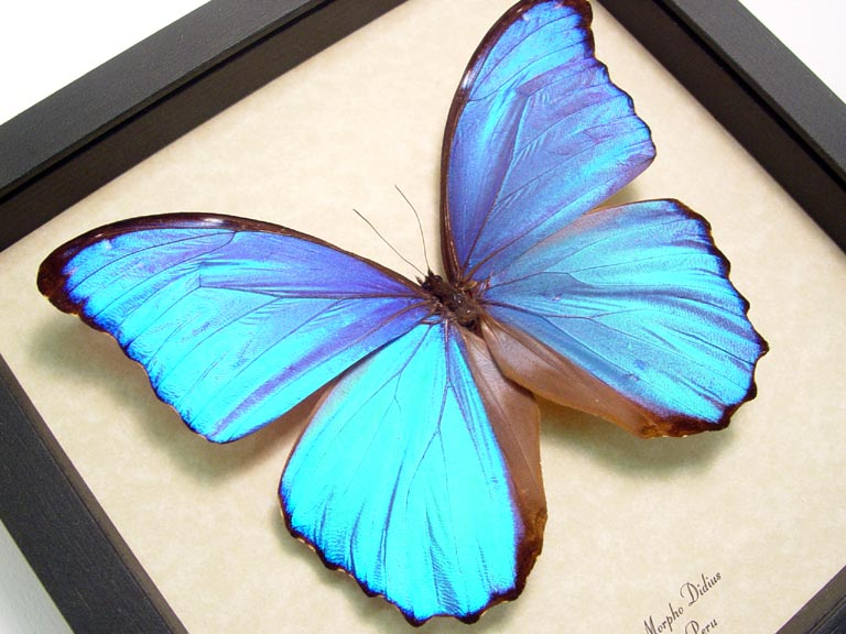 Youu0027re Viewing: Morpho Didius Giant Blue Morpho Real Framed Butterfly Sug  Retail $60