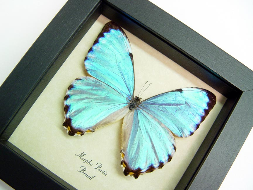 Morpho portis Real Framed Glowing Blue Morpho Butterfly Sug Retail ...