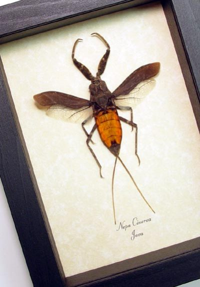 Nepa cinerea Real Framed Red Orange Water Scorpion Insect