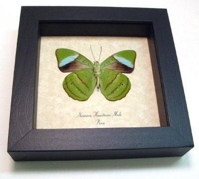 Nessaea hewitsoni Rare Male Hewitson's Olivewing Real Framed Green Butterfly
