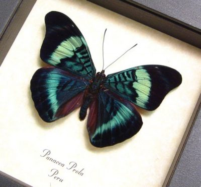 Panacea prola The Prola Beauty Red Flasher Real Framed Blue Butterfly