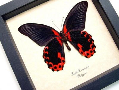 Papilio rumanzovia Verso Scarlet Mormon Real Framed Butterfly