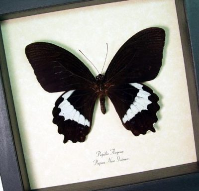 Papilio aegeus Orchid Swallowtail Real Framed Butterfly