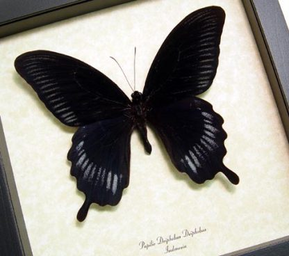 Black Butterflies & Insects