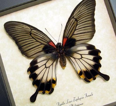 Papilio Lowi Zephyria Female Swallowtail Real Framed Butterfly