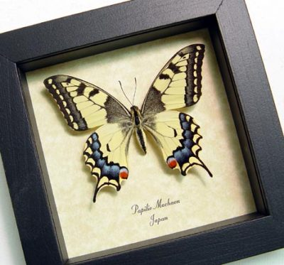 Papilio machaon Female Japanese Swallowtail Real Framed Butterfly