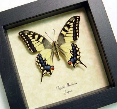 Papilio Machaon male Japanese Swallowtail Real Framed Butterfly