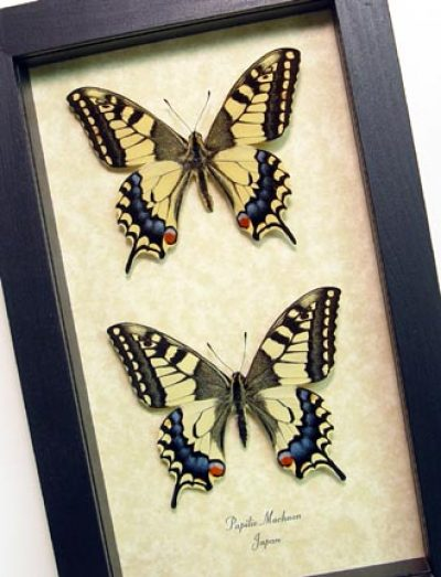 Papilio machaon Pair Old World Japanese Swallowtails Real Framed Butterflies