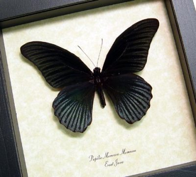 Papilio Memnon male Great Mormon Real Framed Black Butterfly