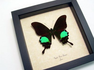 Papilio paris Green Peacock Swallowtail Real Framed Butterfly