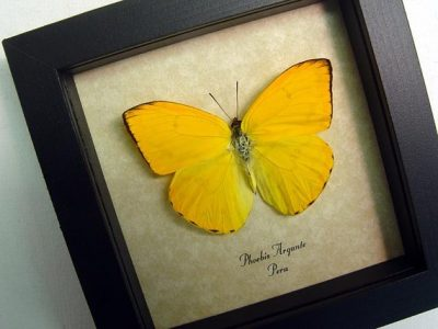 Phoebis argante Orange Sulpher Real Framed Butterfly