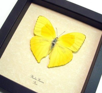 Phoebis rurina The Teardrop Sulpher Yellow Real Framed Butterfly