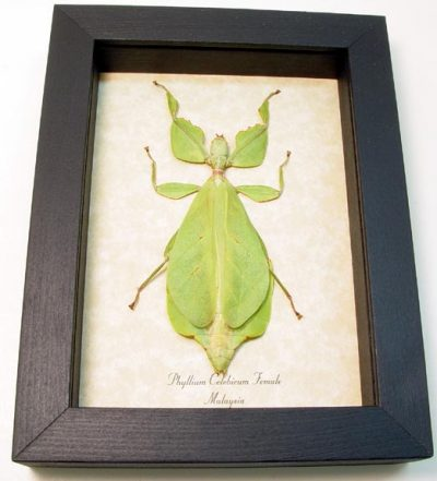 """Phyllium celebicum Female 3 3/4"""" Real Framed Green Leaf Mimic Insect"""