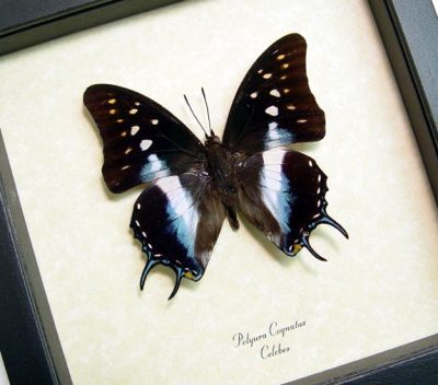 Polyura cognatus Blue Dagger Tail Real Framed Butterfly