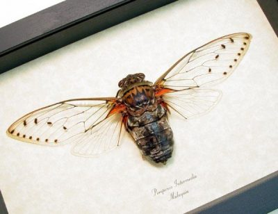 Pomponia intermedia Real Framed Giant Clear Wing Cicada