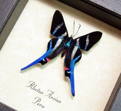 Rhetus arcius Long Tails Metallic Blue Swallowtail Real Framed Butterfly New Lower Price