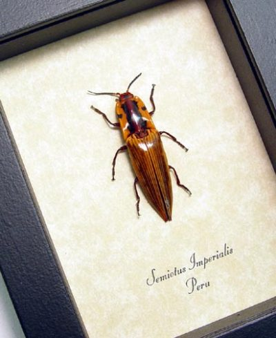 Semiotus imperialis Real Framed Orange Pin Striped Click Beetle