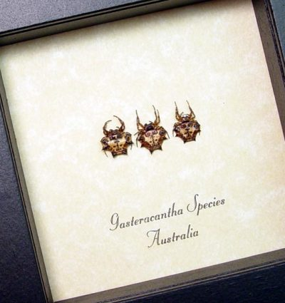 Gasteracantha Sp Set Real Framed Sun Moon Stars Spiked Spiders Set