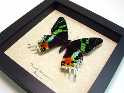 Sunset Moth Real Framed Madagascar Colorful Day Flying Moth