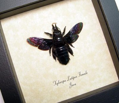 Xylocopa latipes Female Real Framed Rainbow Bee