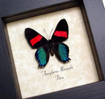 Ancyluris Miranda Frilled Majestic Real Framed Metallic Blue Red Rare Butterfly