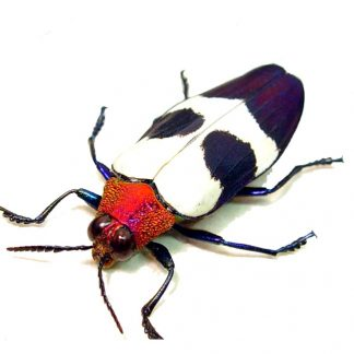 Chrysochroa-buquetii Amazing Metallic Red & purple Beetle