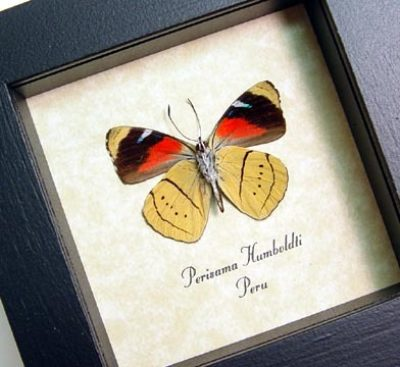 Perisama humboldti Verso Gold Red Real Framed Butterfly