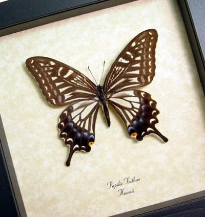 Papilio xuthus Female Real Framed Hawaii Butterfly