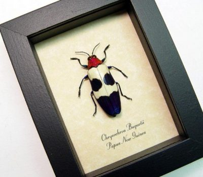 Chrysochroa buqueti Real Framed Red Speckled Jewel Beetle
